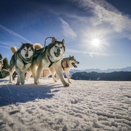 Musher et ses chiens en hiver en pleine course