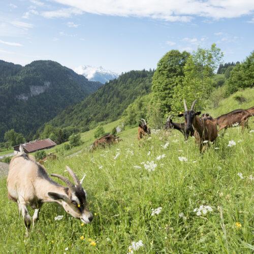 Chèvres broutant dans une prairie en été face à la montagne